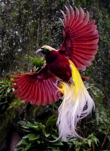 Bird of paradise Cendrawasih Irian Jaya Balinese dance DwiBhumi
